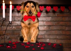 Pies, Roza, Walentynki, Mi�osne