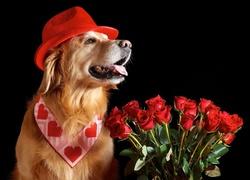 Piesek, Czerwone, R�e, Walentynki, Golden Retriever